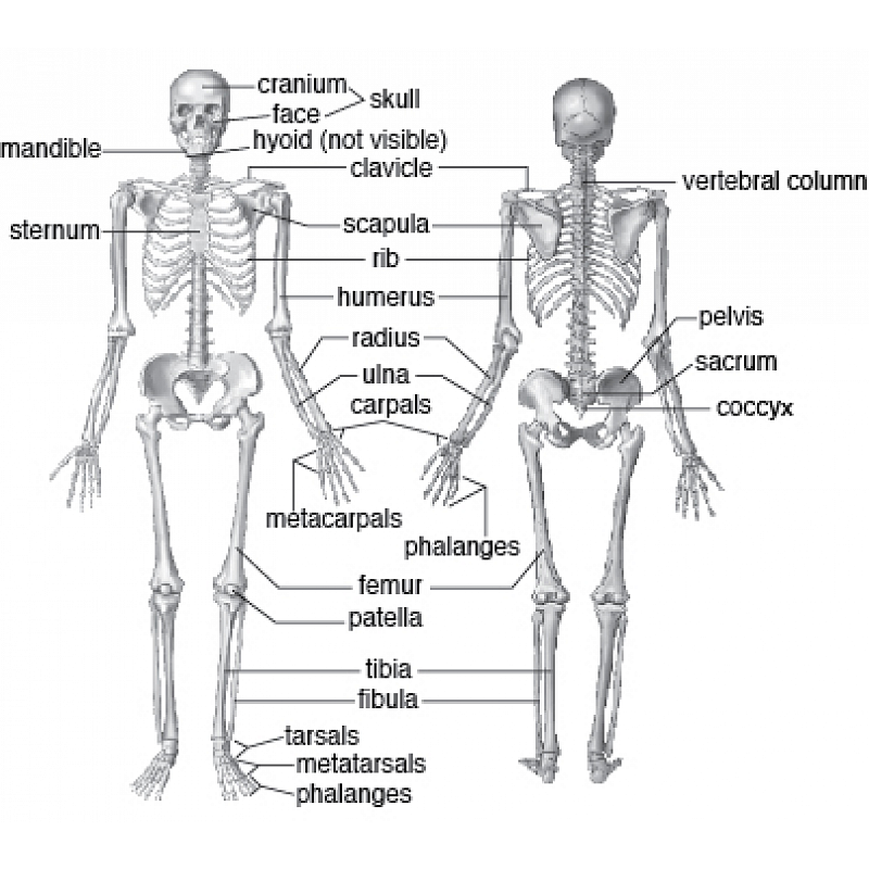 Skeletal System Anatomy and Physiology 9-12th grades